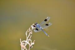 Libellule bleue   Image libre de droits