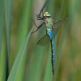 Libellule bleue d'empereur avec les ailes cassées Photographie stock libre de droits