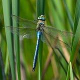 Libellule bleue d'empereur avec les ailes déchirées en lambeaux Photographie stock libre de droits