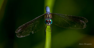 Libellule bleue de Dasher sur le roseau Photo stock