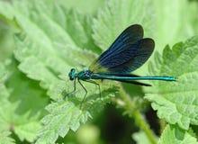 Libellule bleue se reposant sur une lame verte Photographie stock libre de droits