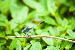 Libellule bleue sur la branche Photo stock