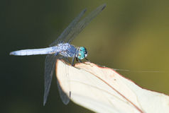 Libellule bleue sur la feuille photographie stock