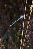 Libellule bleue sur le fond de l'herbe Image libre de droits