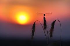 Libellule. Coucher du soleil Photographie stock libre de droits