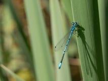 Libellule d'été Macro tir de libellule sur la feuille verte dans t Image stock