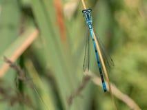 Libellule d'été Macro tir de libellule sur la feuille verte dans t Photo libre de droits