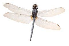 Libellule d'insecte image libre de droits