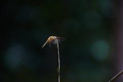 Libellule dans la forêt Photo libre de droits