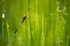 Libellule dans la rizière Photographie stock