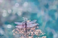 Libellule dans les gouttelettes de la rosée de scintillement sur une fleur photo libre de droits
