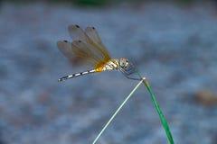 Libellule de Dragonlet de bord de la mer Photo libre de droits