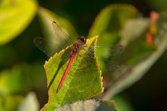 Libellule de Meadowhawk d'automne Photos stock