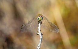 Libellule en automne regardant dans vos yeux Photo stock