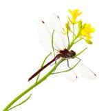Libellule et fleur de Mustardgreen Photo stock