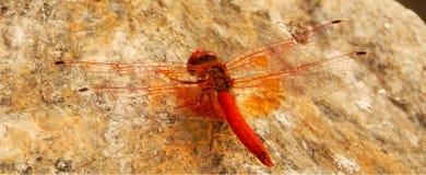 Libellule Orange-à ailes Photographie stock libre de droits
