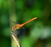 Libellule orange et jaune se reposant sur l'herbe Photos stock