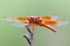 Libellule orange - sierra Vista, Arizona images libres de droits