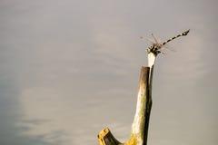 Libellule propagée des morts de branches sur l'eau image libre de droits