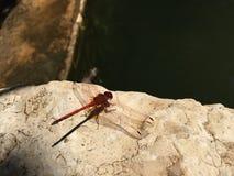 Libellule rouge à côté d'une piscine Photographie stock libre de droits