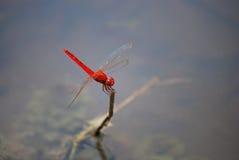Libellule rouge Photo libre de droits