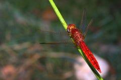Libellule rouge Image libre de droits