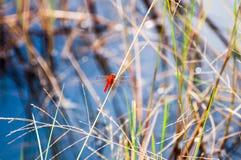 Libellule rouge sur la prairie dans le marais de bord de la route Photo libre de droits