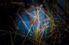 Libellule rouge sur la prairie dans le marais de bord de la route Photographie stock