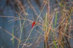 Libellule rouge sur la prairie dans le marais de bord de la route Image stock
