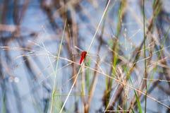 Libellule rouge sur la prairie dans le marais de bord de la route Image libre de droits