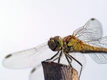 Libellule se reposant sur un poteau dans le jardin photo libre de droits