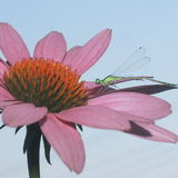 Libellule se reposant sur une fleur rose Images stock