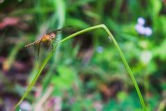 Libellule sur l'herbe dans le jardin de matin Image stock