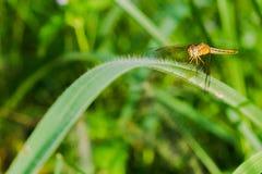 Libellule sur l'herbe dans le jardin de matin Image libre de droits