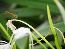 Libellule sur la fleur Photo libre de droits
