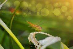 Libellule sur la fleur Image stock