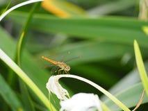 Libellule sur la fleur Photo stock