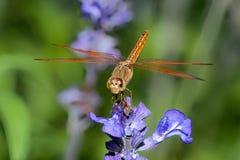 Libellule sur la fleur bleue Image libre de droits