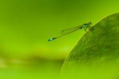 Libellule sur la lame verte de lotus Photographie stock
