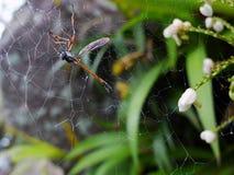 Libellule sur la toile d'araignée Photographie stock libre de droits