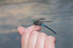 Libellule sur le doigt par la rivière Photographie stock