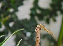 Libellule sur le jardin en bois d'identifiez-vous photo stock