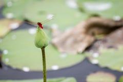 Libellule sur le lotus Image stock