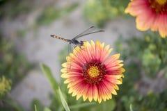 Libellule sur le Wildflower Image libre de droits