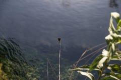 Libellule sur une branche avec le fond de l'eau Photos libres de droits