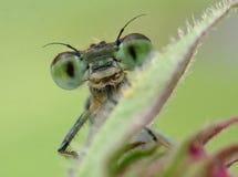 Libellule verte Photographie stock libre de droits