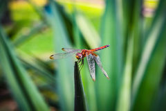 libellules photo libre de droits