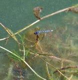 Libellules au-dessus d'un étang bleu Photos libres de droits