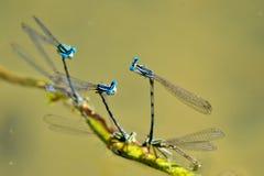 Libellules bleues d'accouplement et de reproduction sur le lac Photographie stock libre de droits