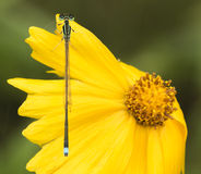 Libellules (damselflies) Images stock